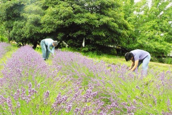 Hand harvesting experience - Lavender Farm 2016 - Nurtured Tours