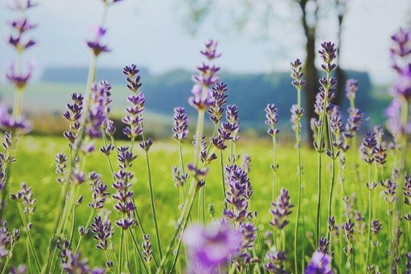 Visit a Lavender Farm on our Eco Farm Tour - Nurtured Tours